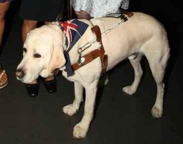 Guide dog Comet with his working harness and lead on with a scarf showing an Australian flag tied around his neck