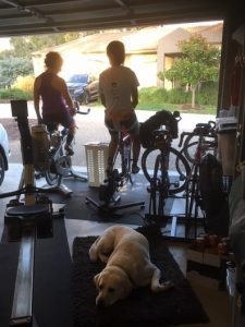 Labrador lying down on a rug with stationary bikes behind with two riders on the bikes starting training looking out of the open garage