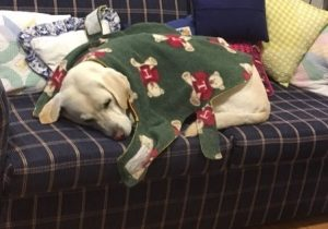 Guide dog Comet curled up on a lounge with his fleecy rug with teddybears on it draped over him