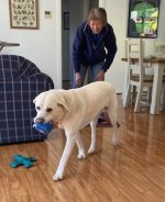 Comet with a blue Pawgust toy in his mouth with Lindy watching on